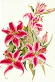 Click to a larger version of Stargazer Lilies